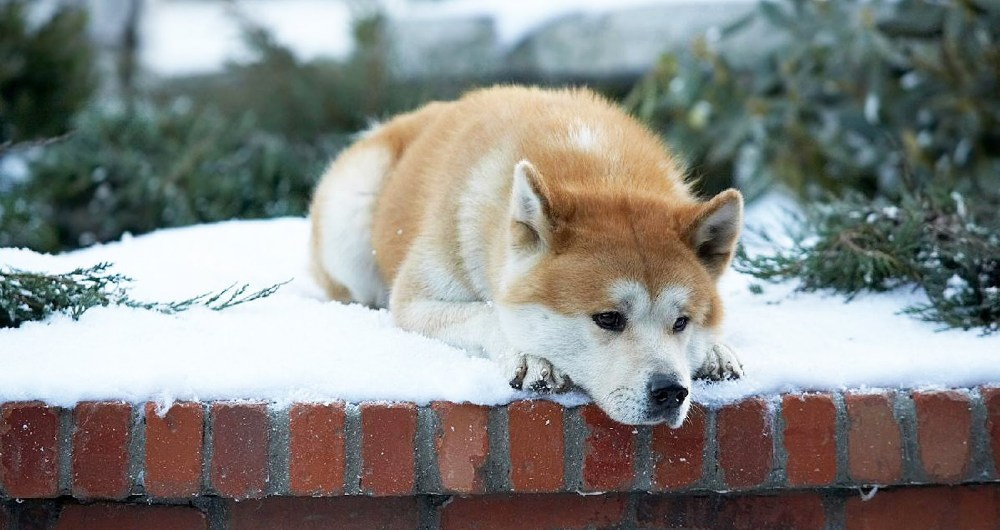 still of hachiko from hachi: a dog's tale movie