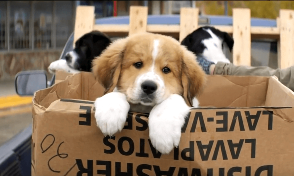image of a Bernard pup in A Dog's Purpose movie